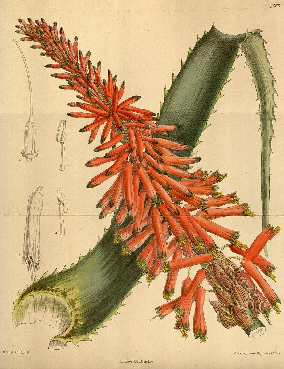 Aloe arboresence